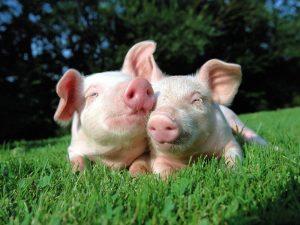 mơ 2 con lợn