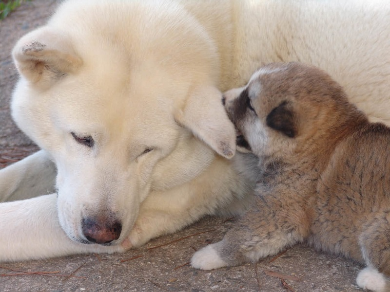 Chó đẻ 1 con là hiện tượng hiếm gặp