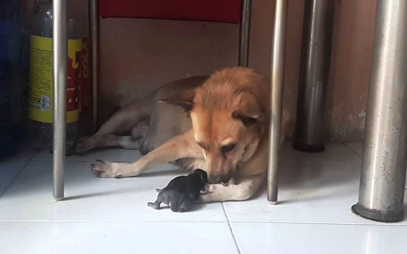 Nhiều người cho rằng hiện tượng chó đẻ 1 con báo hiệu may mắn