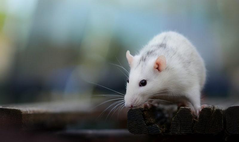 Ngủ mơ thấy chuột bạch điềm báo báo gì?