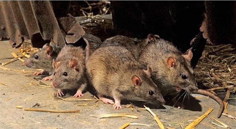 Mơ thấy chuột chạy thành đàn nhiều con