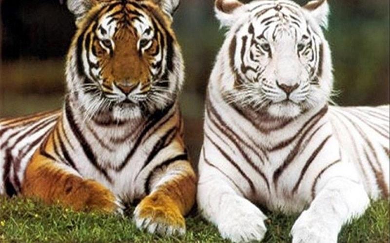 Mơ thấy hổ đang săn mồi