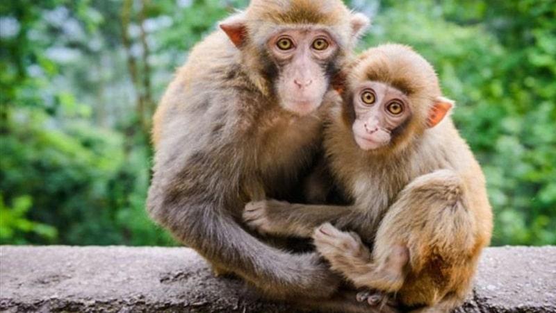 Khỉ là loài vật biểu tượng của nhiều nền văn hóa