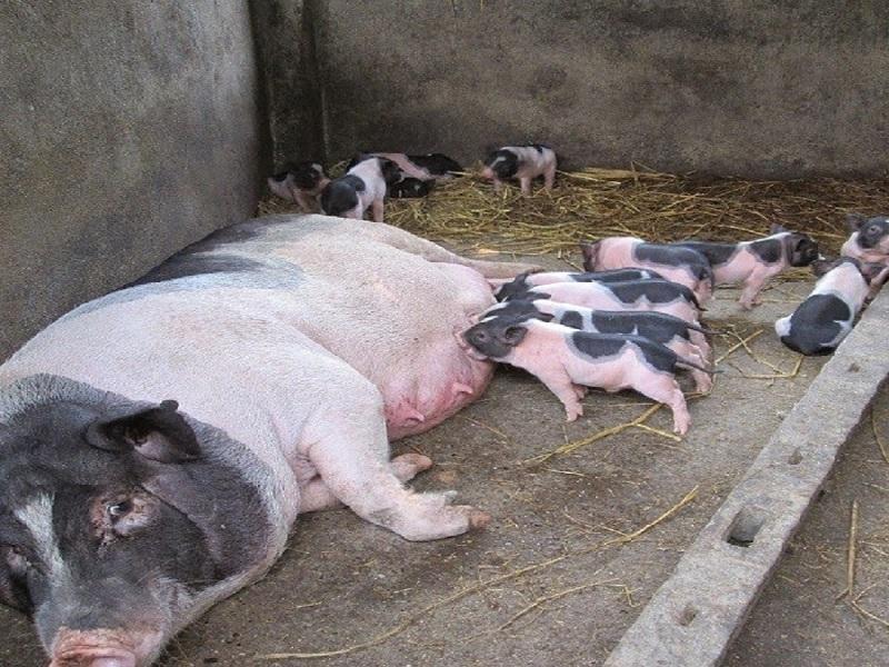 Mơ thấy lợn con bú mẹ là điềm báo xấu