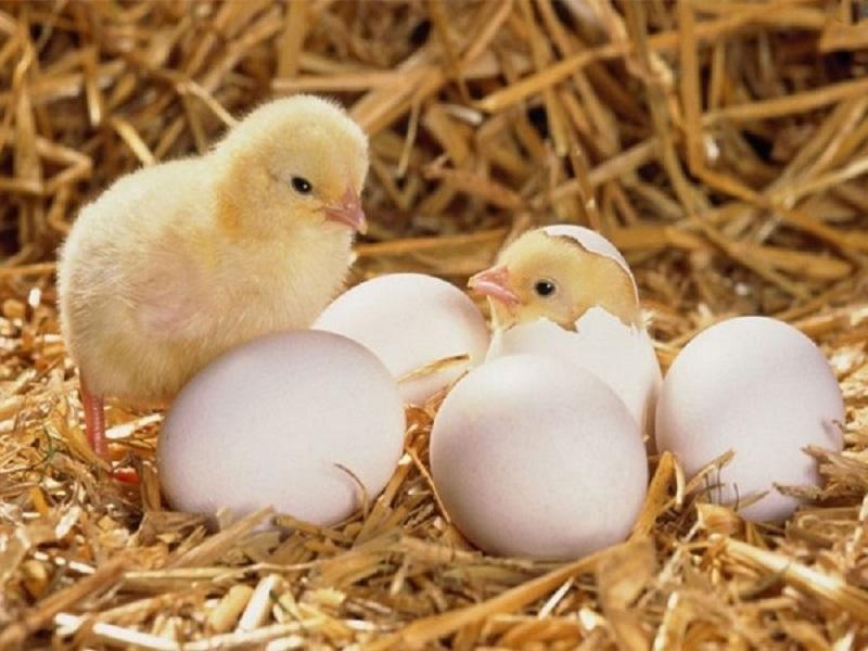 Mơ thấy trứng gà nở ra thành con