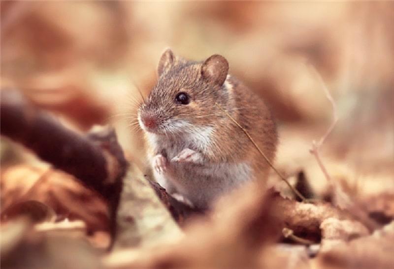 Chiêm bao thấy chuột đánh con gì