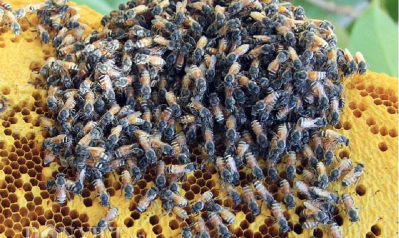 Ong làm tổ trong nhà là ong ruồi
