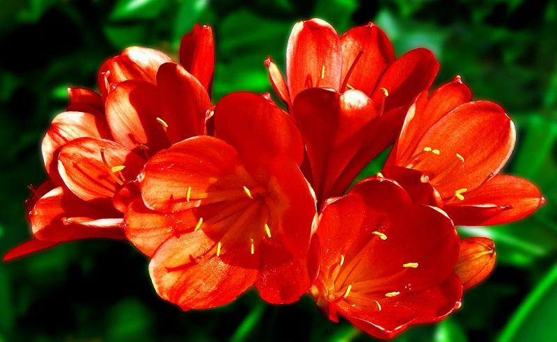 Lan Quân Tử là một loài cây hợp 1986