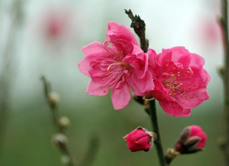 Khi chọn hoa đào chơi ngày tết, bạn nên chọn hoa thẫm màu, bông to, cánh kép
