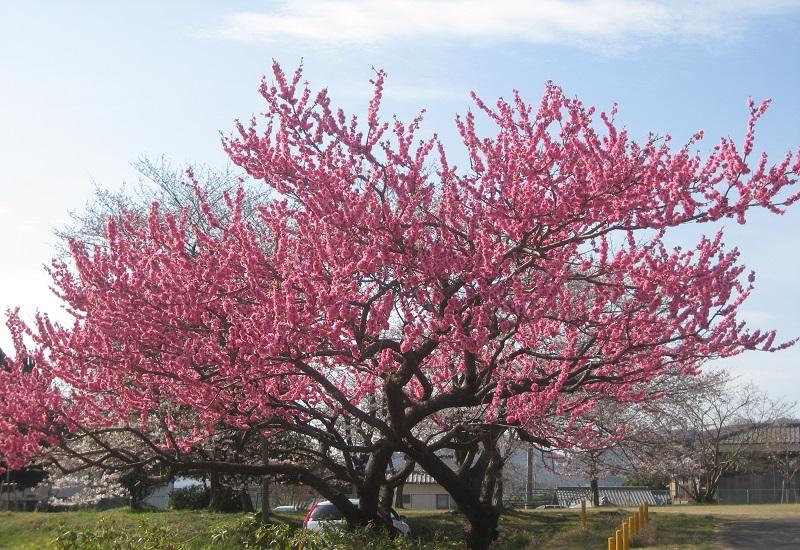 Cắm hoa đào ngày tết bắt nguồn từ sự tích cây hoa đào