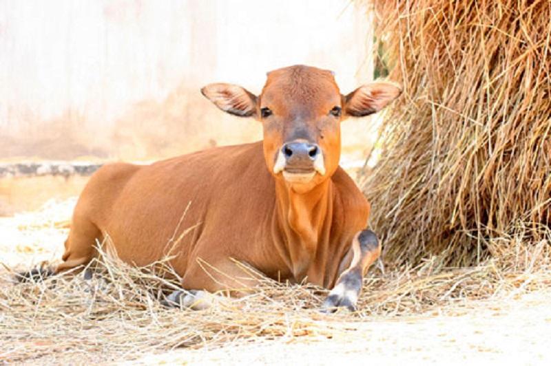 Mơ thấy bò đánh con gì đẹp?