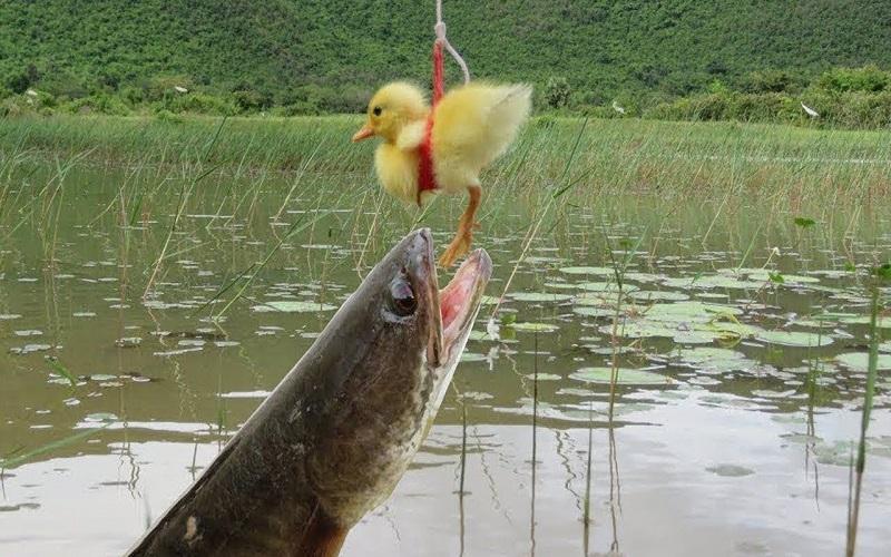 Mơ thấy cá Lóc do câu được
