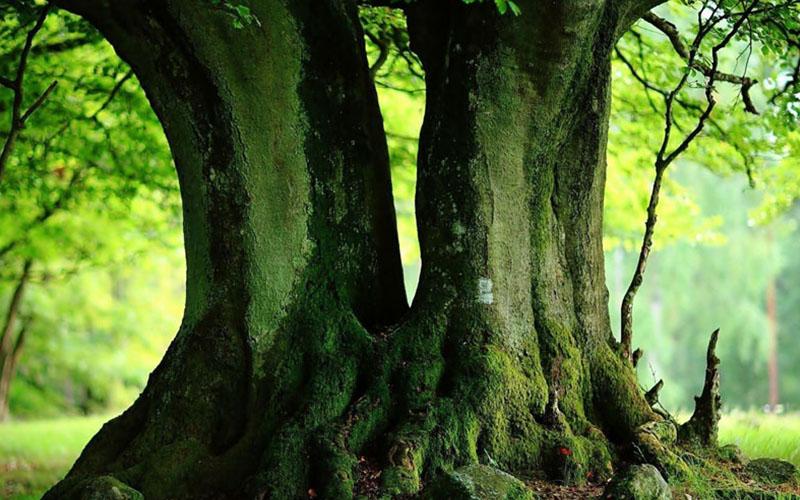 Giấc mơ thấy gốc cây cổ thụ có ý nghĩa gì?
