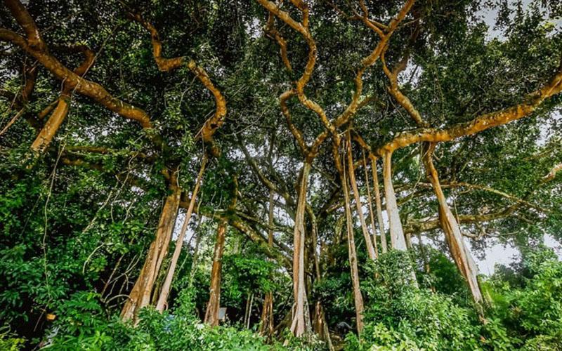 Nhìn thấy nhiều cây cổ thụ trong mơ
