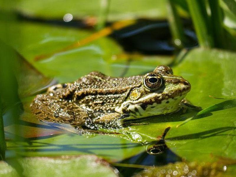 Ý nghĩa của loài ếch là gì?