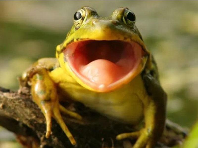 Mơ thấy ếch kêu là điềm báo gì?