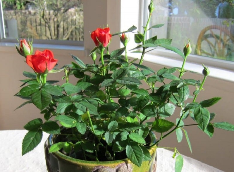 Mơ thấy hoa hồng có gai là điềm báo không tốt