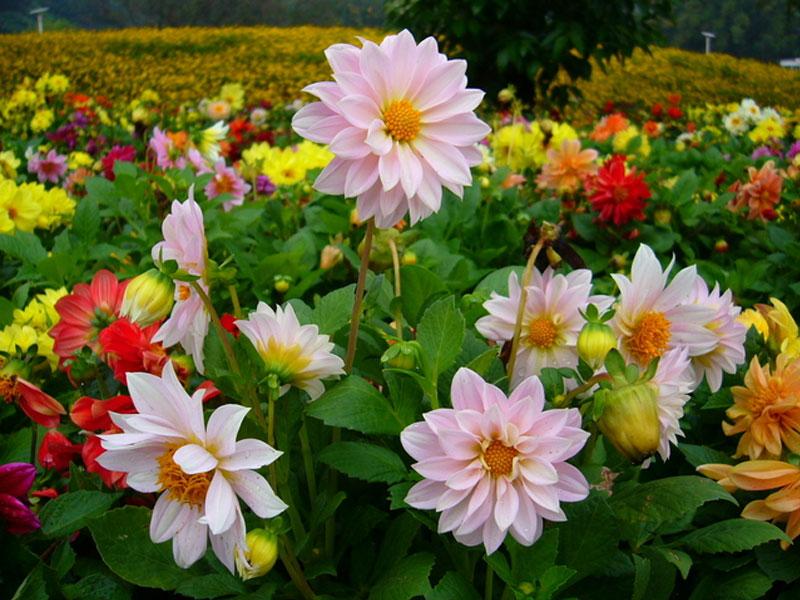 Mơ thấy hoa nở rộ là điềm báo gì?