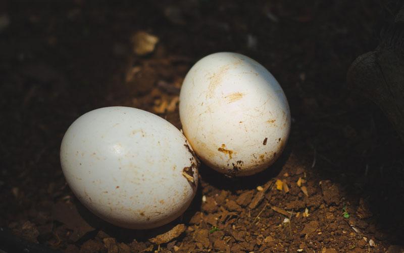 Chiêm bao thấy quả trứng vịt