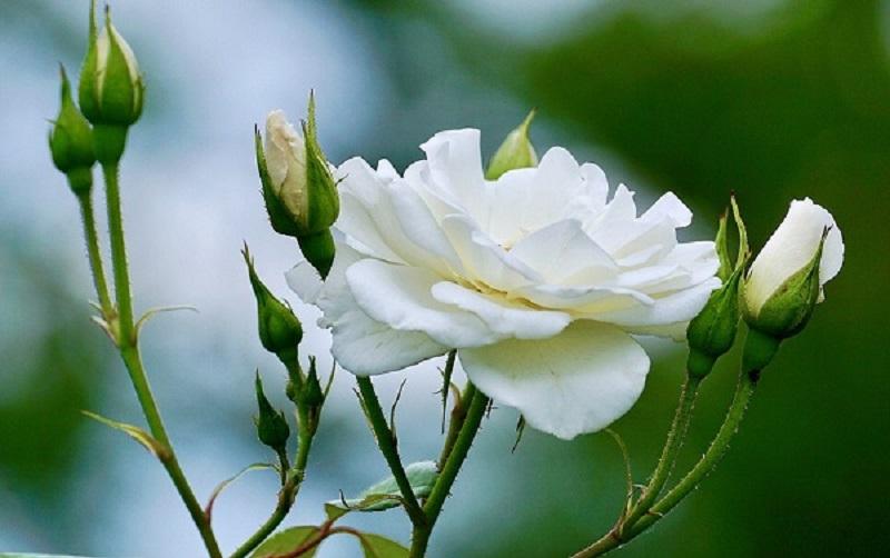 Mơ thấy hoa hồng trắng là điềm gì?