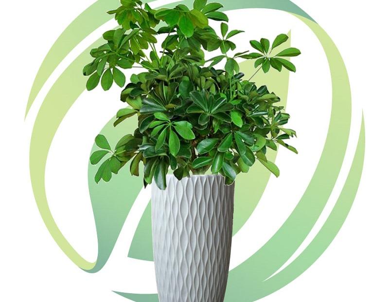 Cây ngũ gia bì: Ý nghĩa phong thủy và cách đặt cây trong nhà