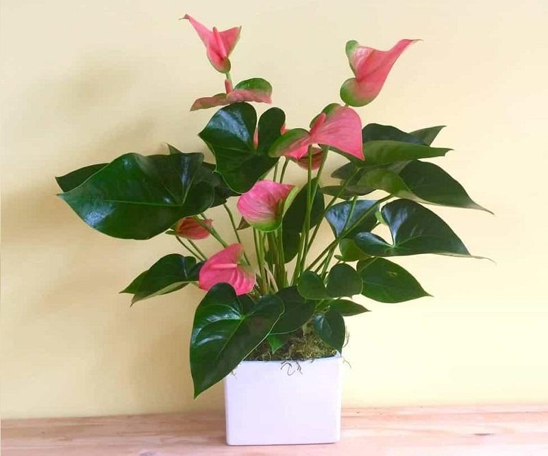 Hồng môn một trong các loài cây phong thủy rước lộc vào nhà và tốt đẹp cho đường nhân duyên