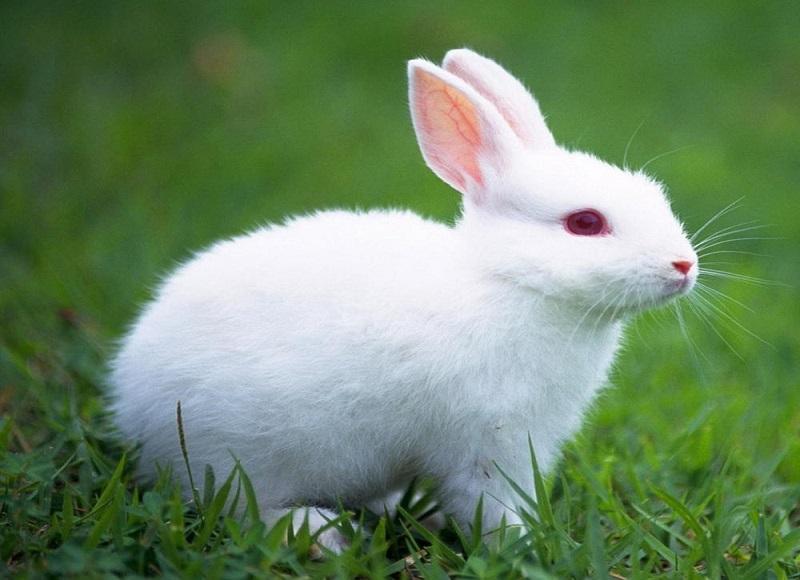 Mơ thấy thỏ trắng là tin tốt lành với bạn