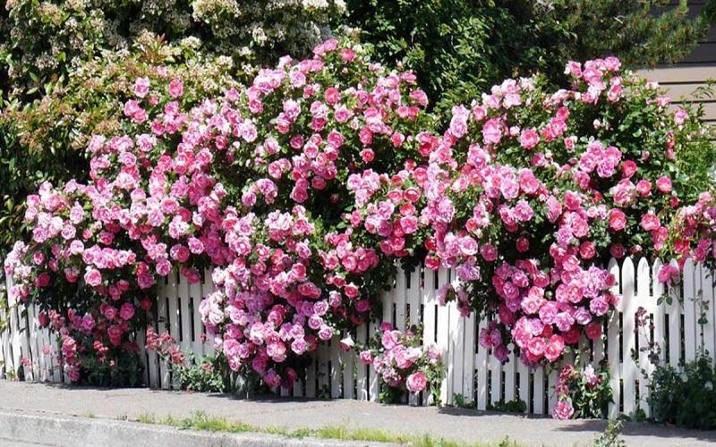 Cây phong thủy trước nhà hoa hồng leo giúp tăng thêm năng lượng và sự ấm áp cho không gian sống của bạn
