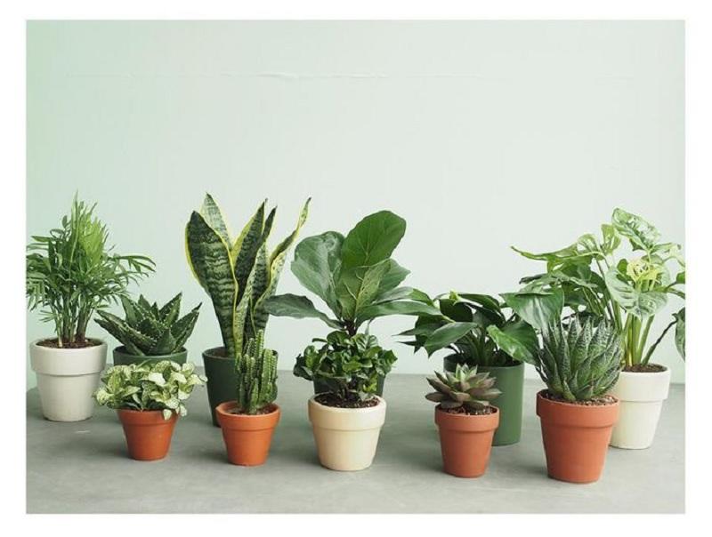 Chọn cây phong thủy trong nhà cần chú ý tuổi và mệnh